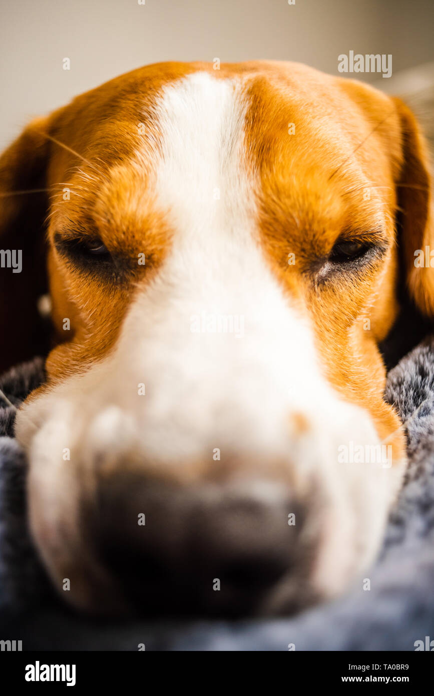 Beagle dog Laying on blanket on a couch. Looking sad or sick. Tired dog - Stock Image