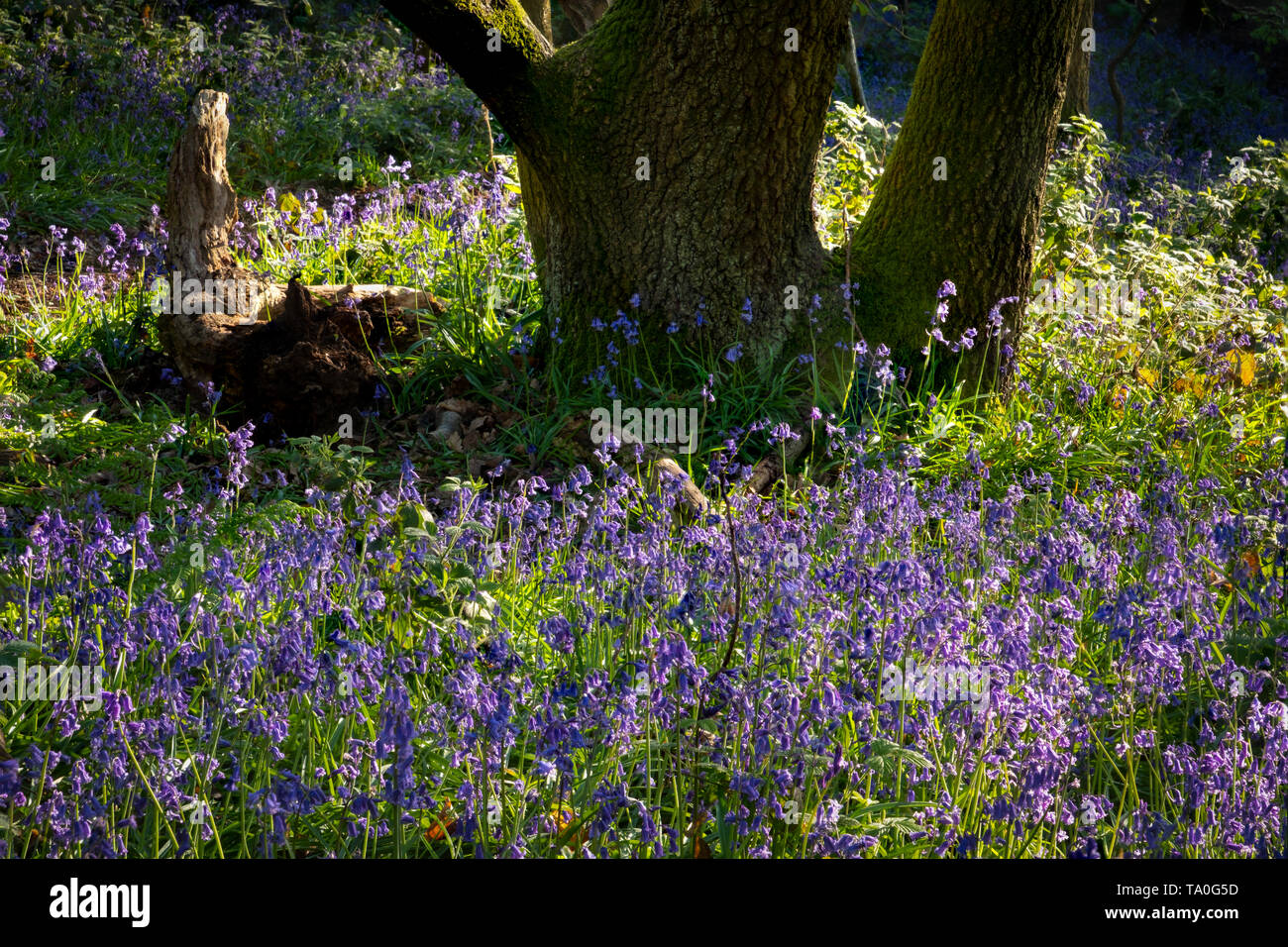 Bluebells in the ancient woodland of The Outwoods which is one of the oldest surviving woodland sites in Charnwood. - Stock Image