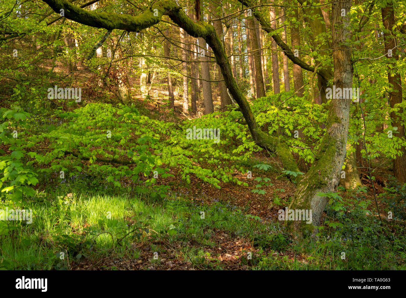 A view through the ancient woodland of The Outwoods in Charnwood Forest. - Stock Image