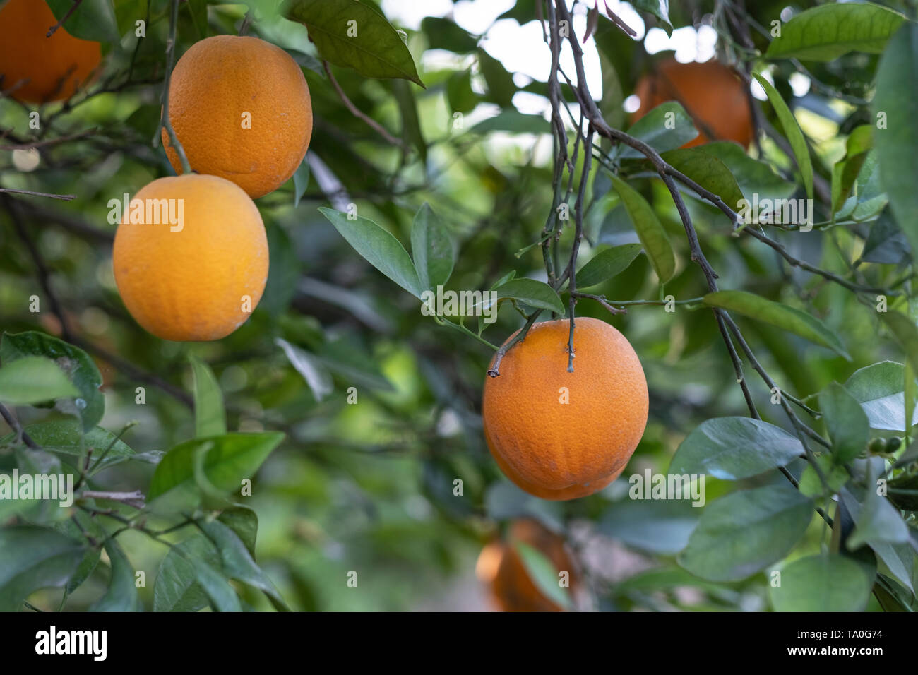 branches of an orange tree with some oranges - Stock Image