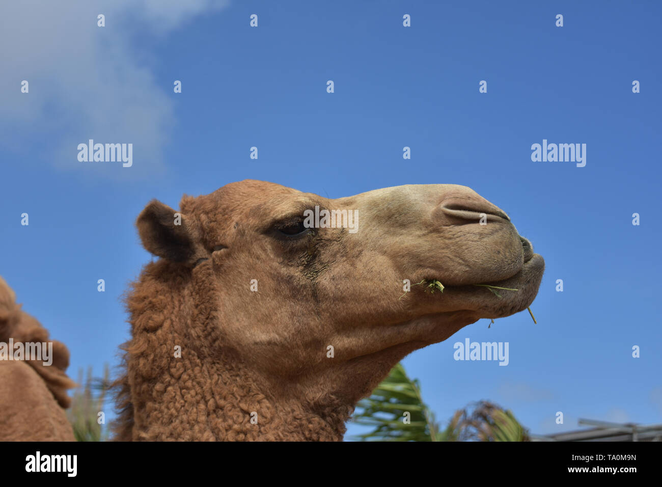 Stunning profile of a ruminating camel in the tropics. - Stock Image
