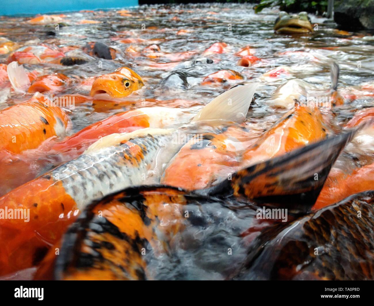 Twilight In Koi Pond >> Koi Fish Pond Stock Photos Koi Fish Pond Stock Images Alamy