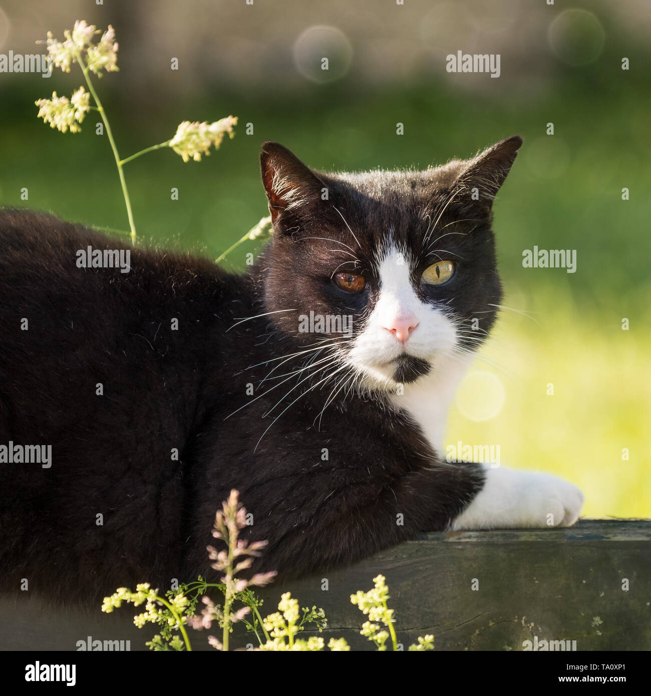 portrait of black and white cat with bicolored eyes relaxing in nature Stock Photo