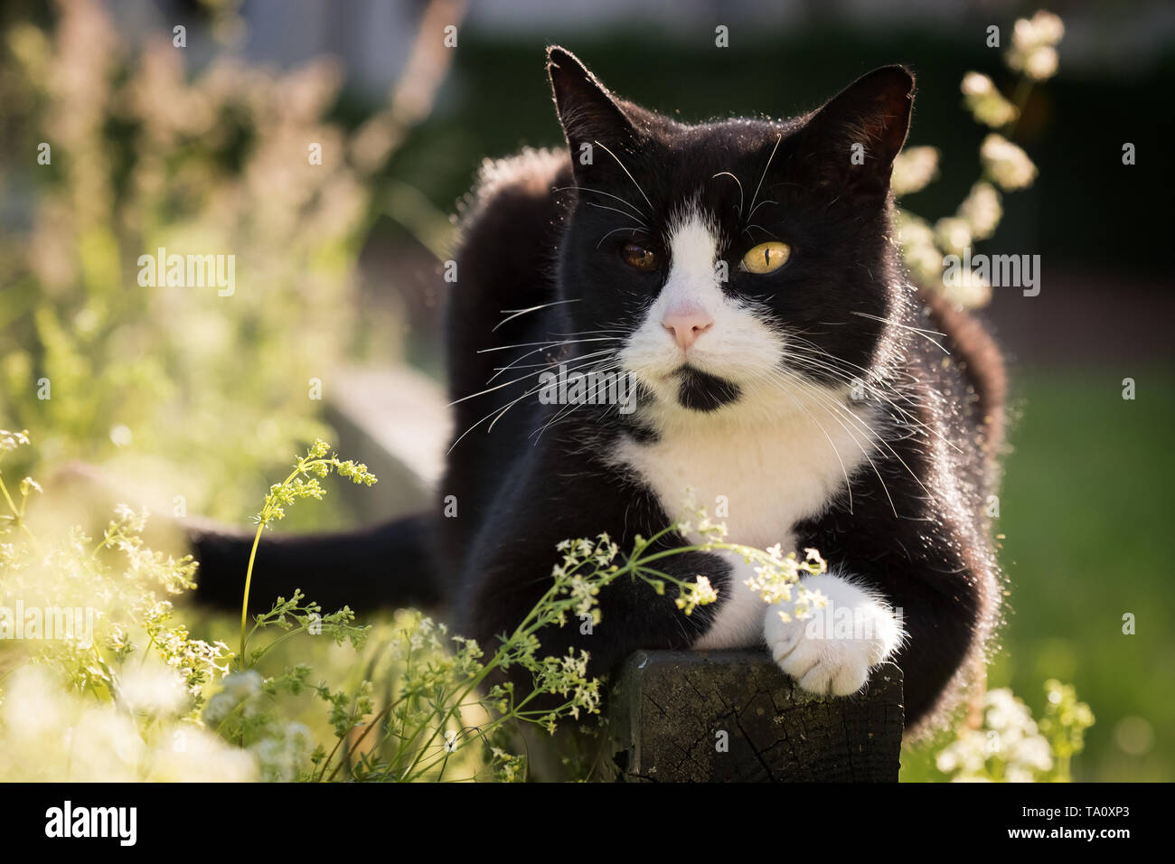 portrait of black and white cat with bicolored eyes enjoying the sun in nature Stock Photo