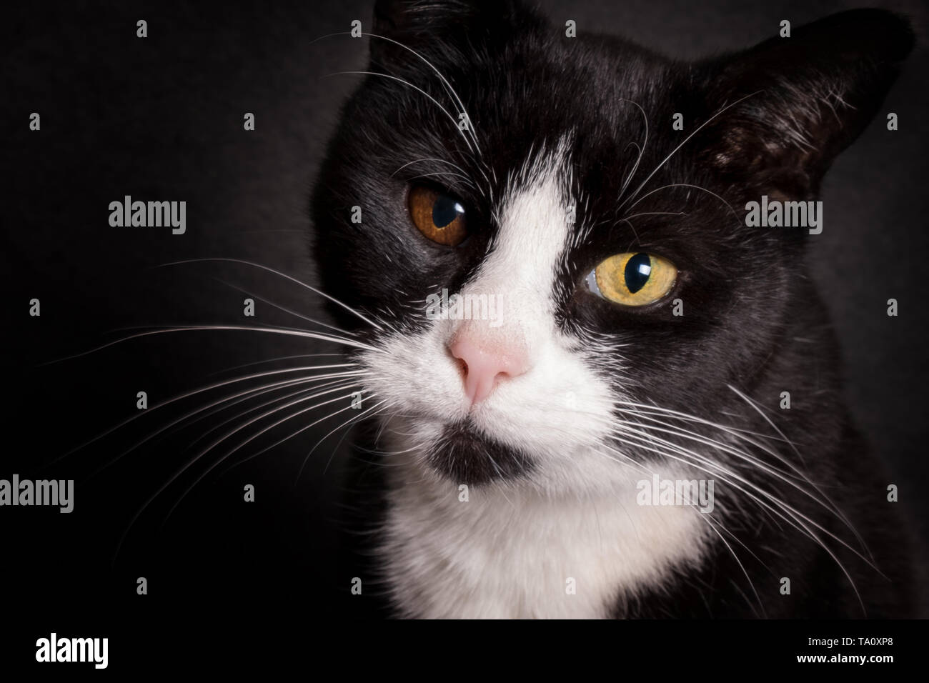 Portrait of black and white cat with bicolored eyes looking at camera Stock Photo