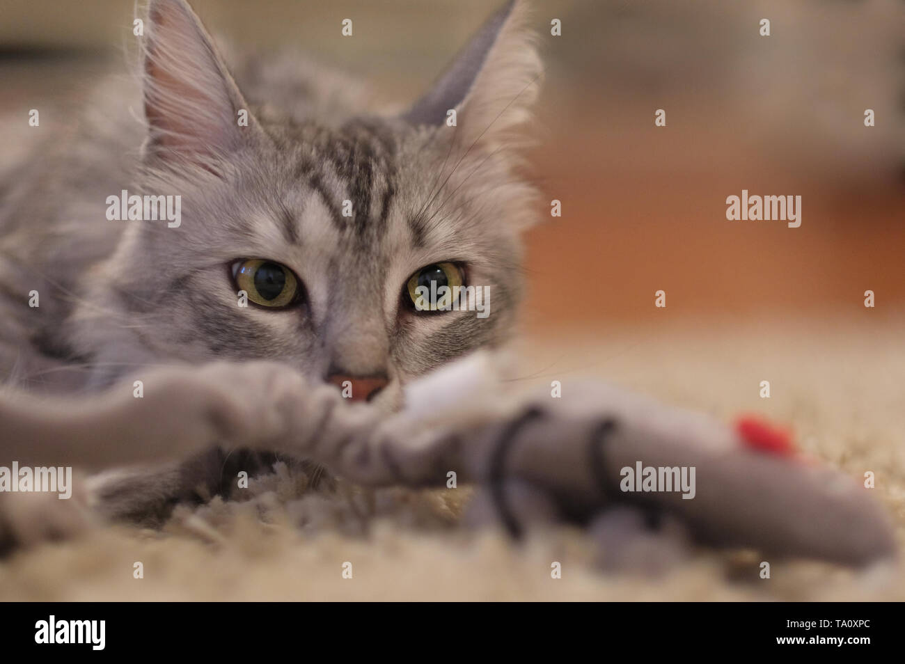 turkish angora cat playing with toy and looking curiously at camera - Stock Image