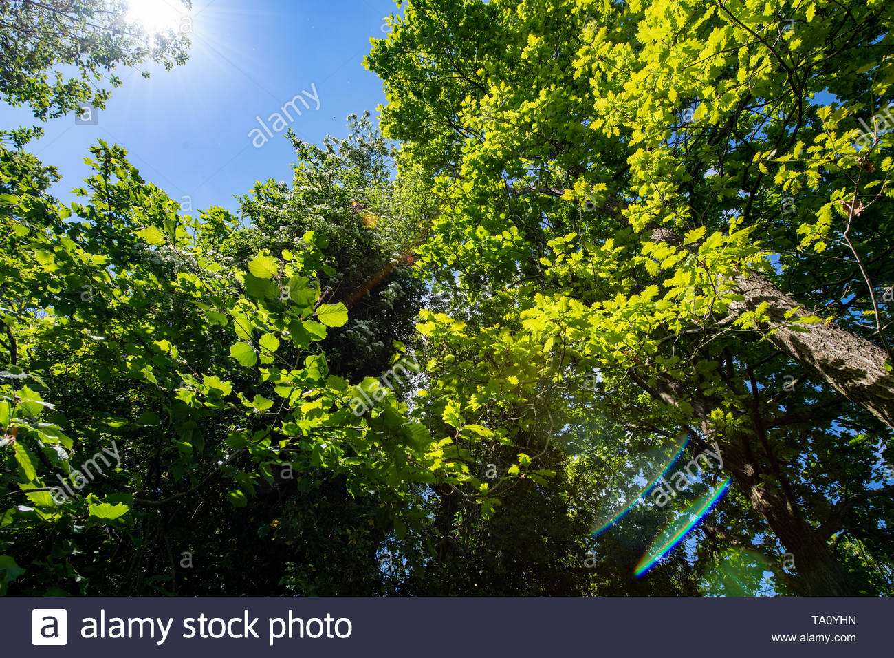Looking up into a tree canopy against a clear blue sky with slight lens flare emphasising the sunlight. - Stock Image