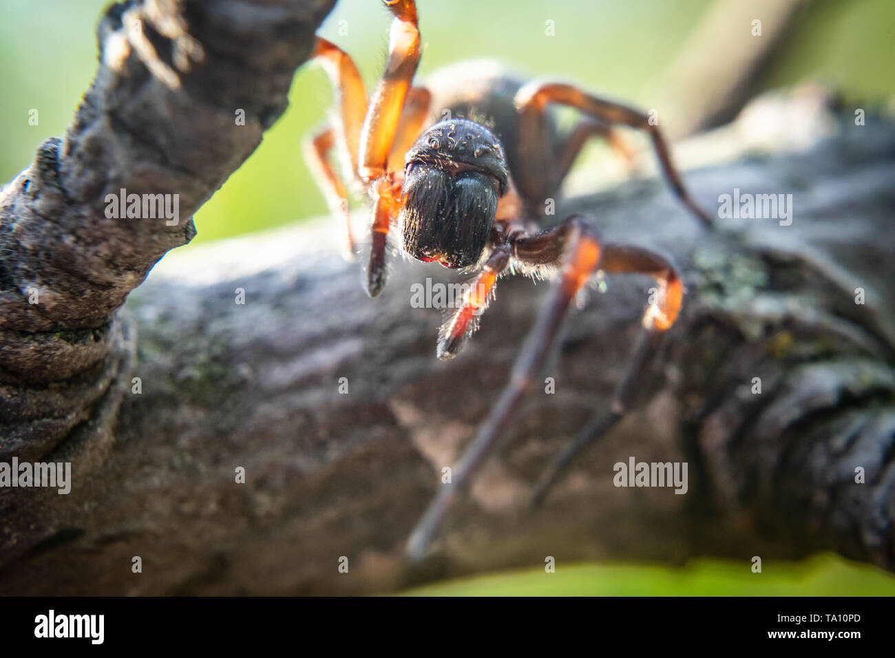 Close up of spider, macro picture - Stock Image