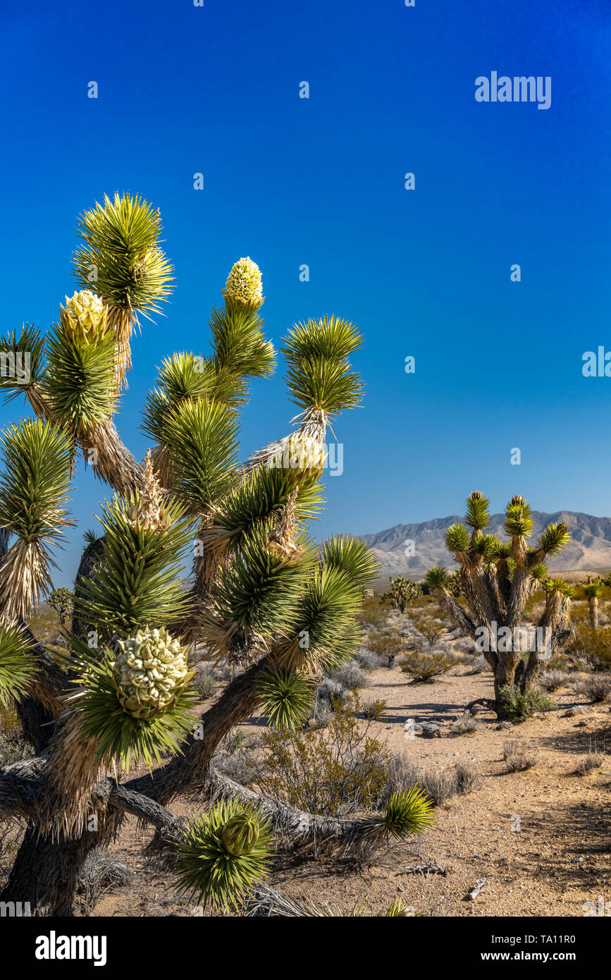 A Joshua Tree Forest Blooming In The Mojave Desert Near Cima