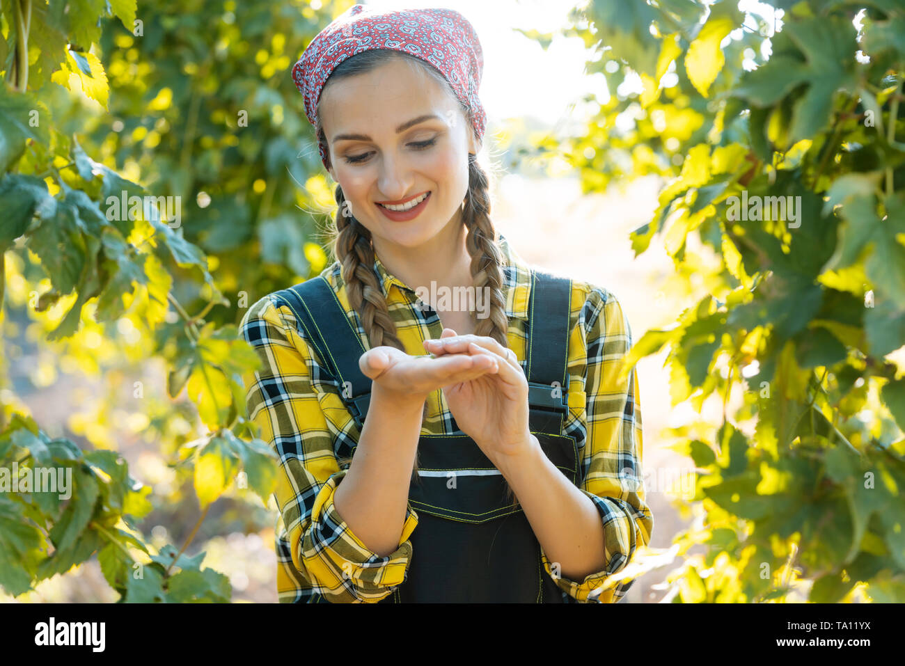 Hands of farmer woman holding hop umbels for testing - Stock Image