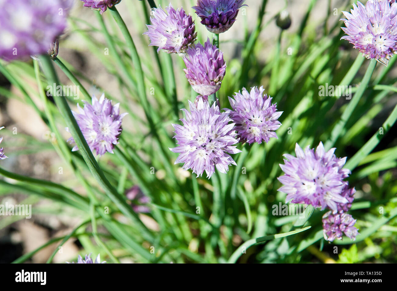 Chive flowers on a chive plant are bee friendly Stock Photo