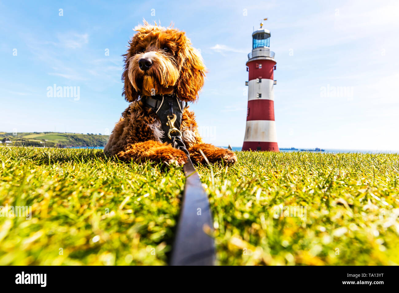 smeaton's tower lighthouse plymouth hoe, Red Cockapoo next to Plymouth lighthouse, smeaton's tower lighthouse, plymouth hoe, smeaton's tower, - Stock Image