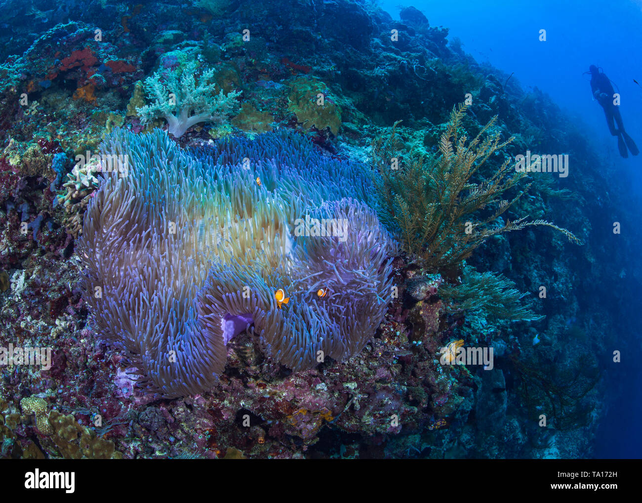 Bioluminescent magnificent anemone with clownfish nestling in its tentacles on a steep coral reef with scuba diver looking on in blue water background Stock Photo