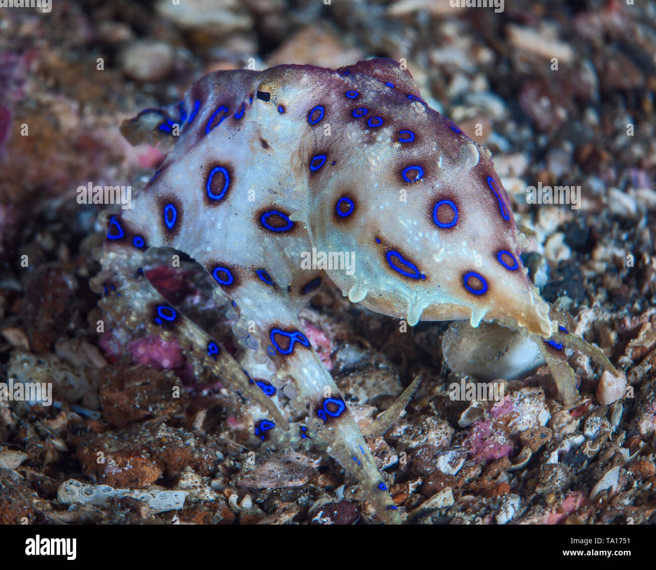 Blue-ringed octopus (Hapalochlaena) swims away and escapes along the coral reef sea floor. Lembeh Straits, Indonesia. Stock Photo