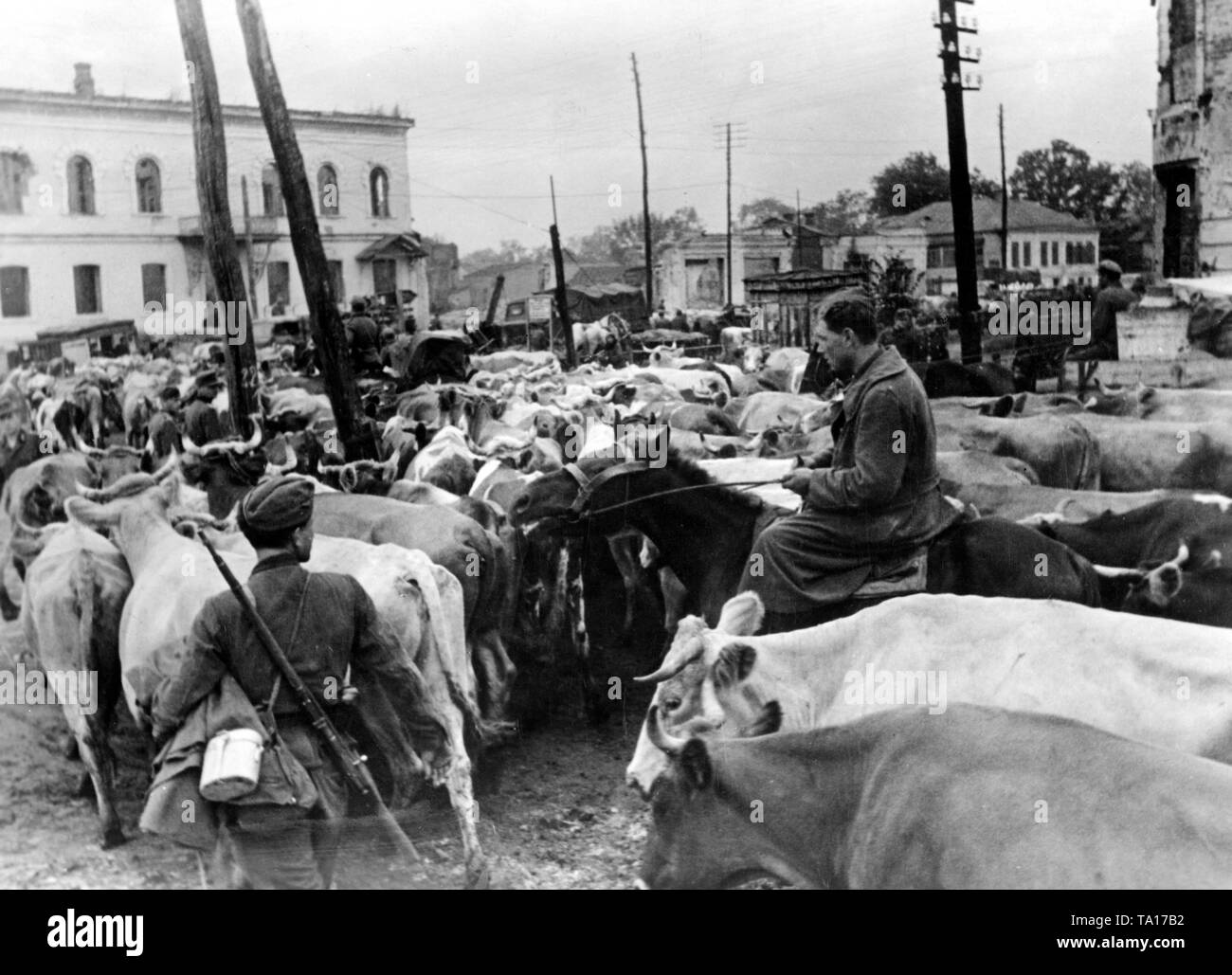 Soldiers of the Wehrmacht drive cattle herds into the hinterland during their retreat on the Eastern front. Stock Photo