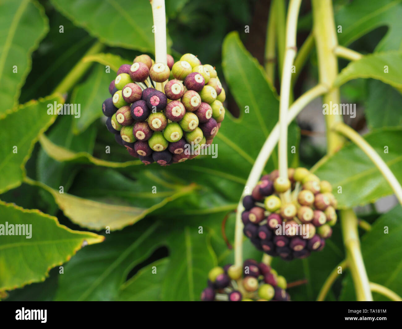 Plant with round fruits in kamakura japan - Stock Image