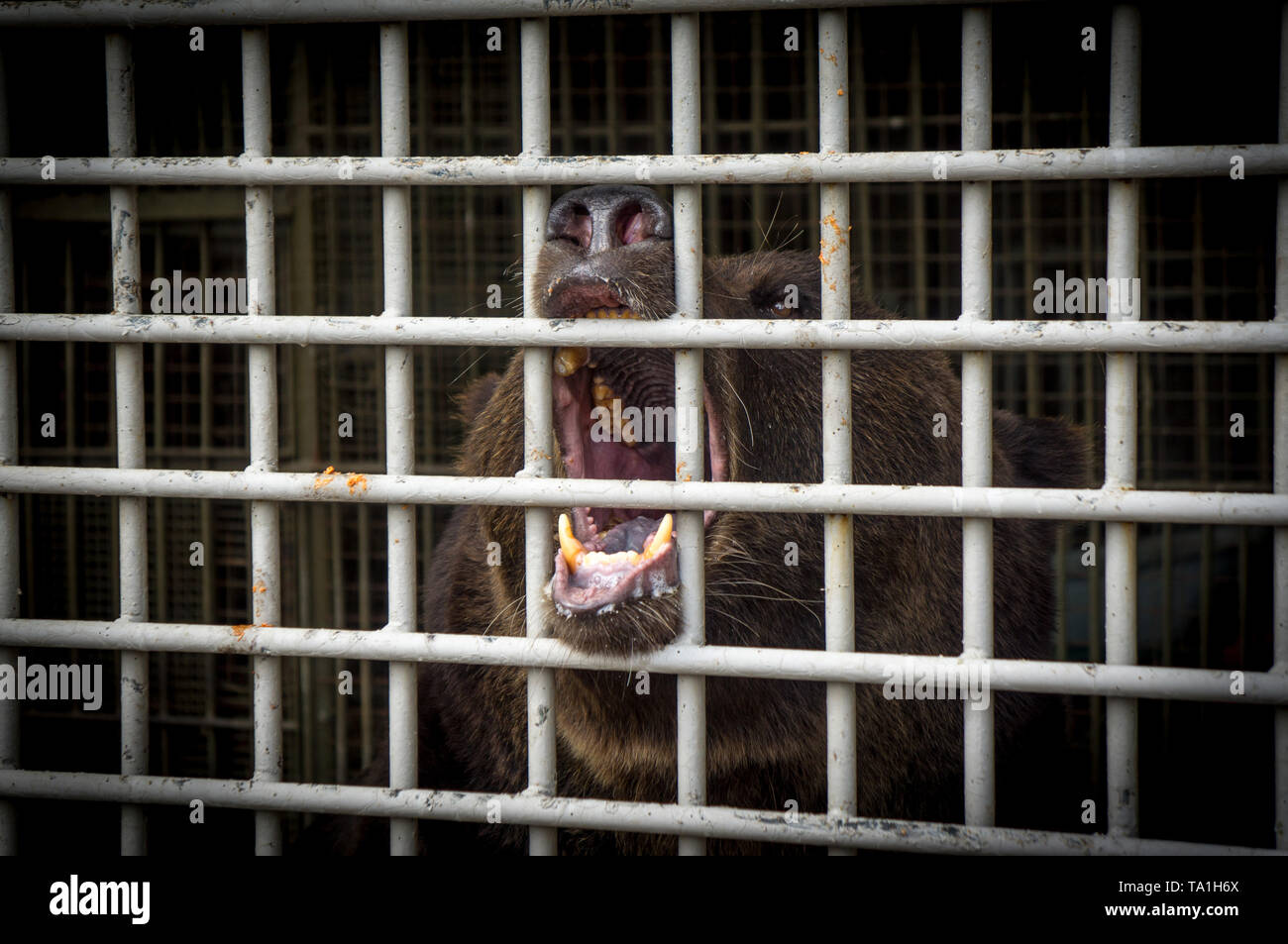 Tambov, Tambov region, Russia. 21st May, 2019. Bear in the zoo of Tambov state University Credit: Demian Stringer/ZUMA Wire/Alamy Live News - Stock Image