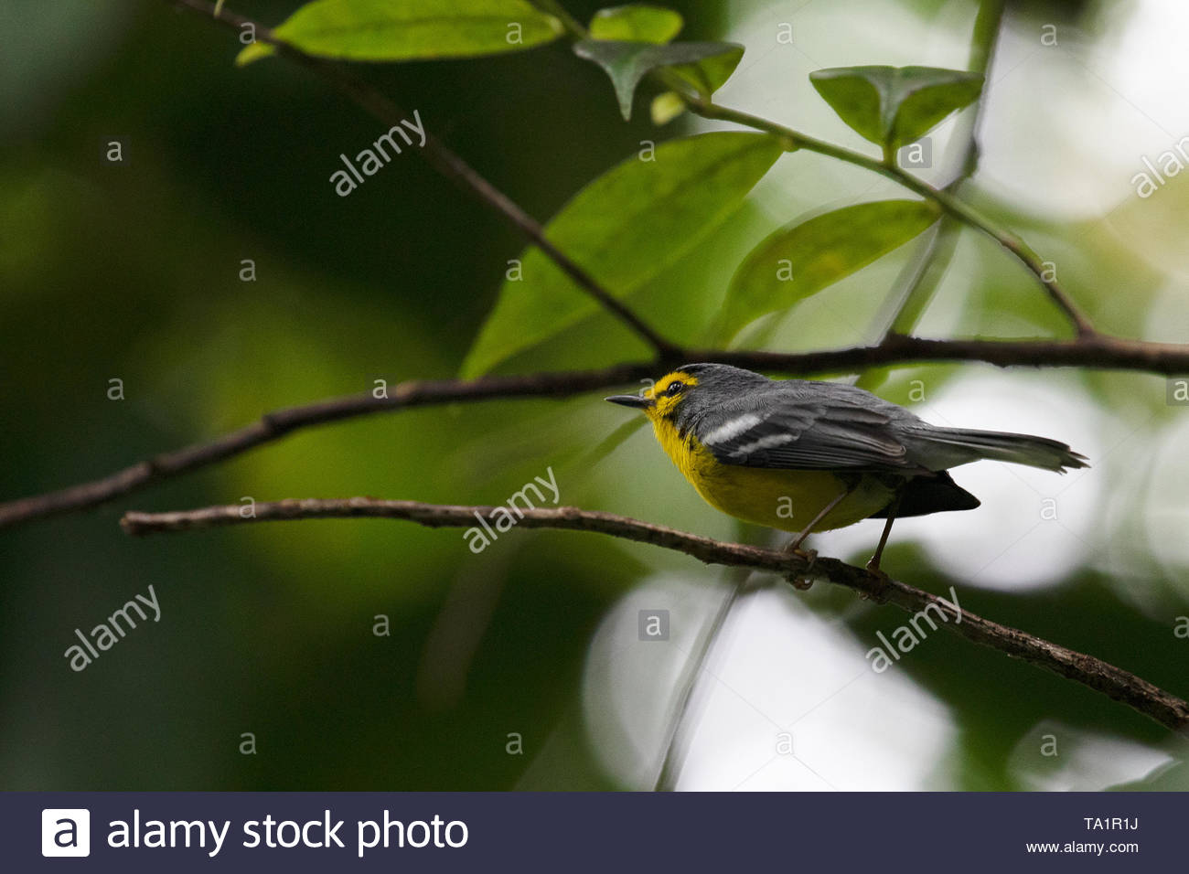 St. Lucia Warbler - Stock Image