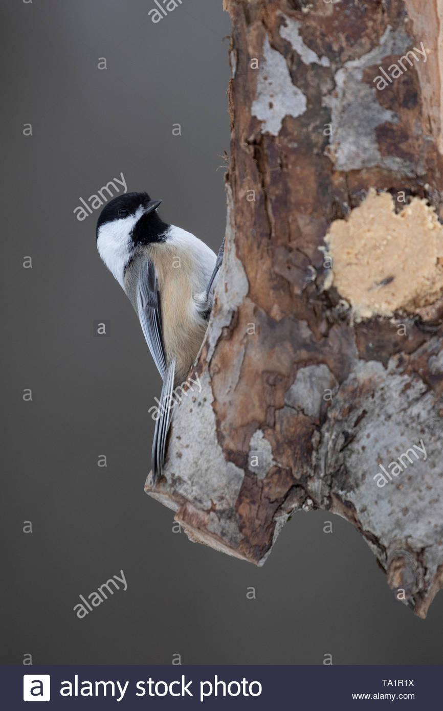 Black-capped Chickadee - Stock Image