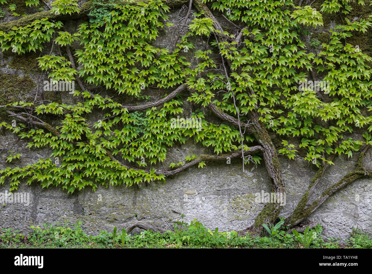 Green leaves of wild grapes weaving on a stone wall. - Stock Image