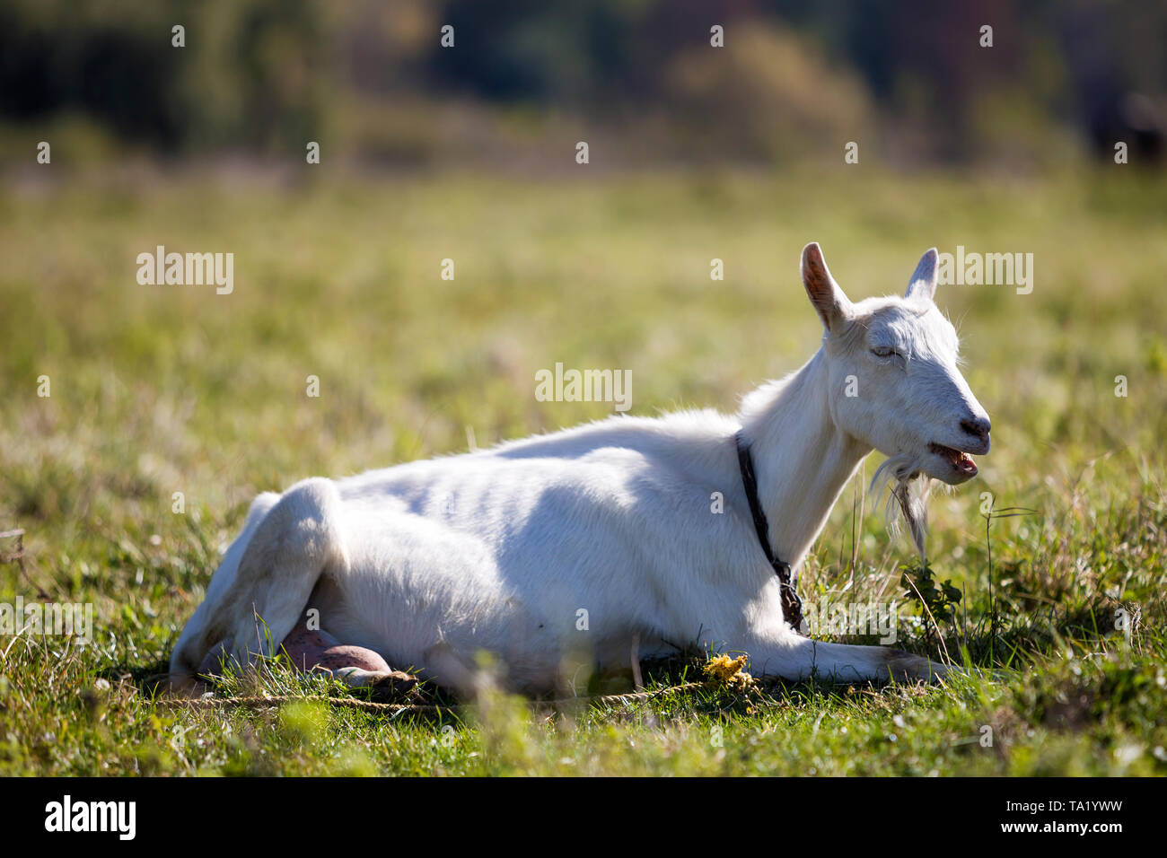 Portrait of white goat with beard on blurred bokeh background. Farming of useful animals concept. - Stock Image