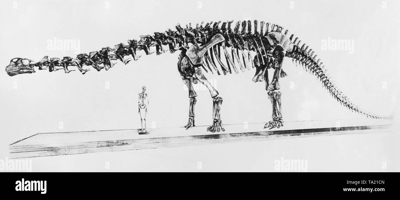 Skeleton of a brontosaurus and human skeleton in the New York Museum of Natural History. - Stock Image