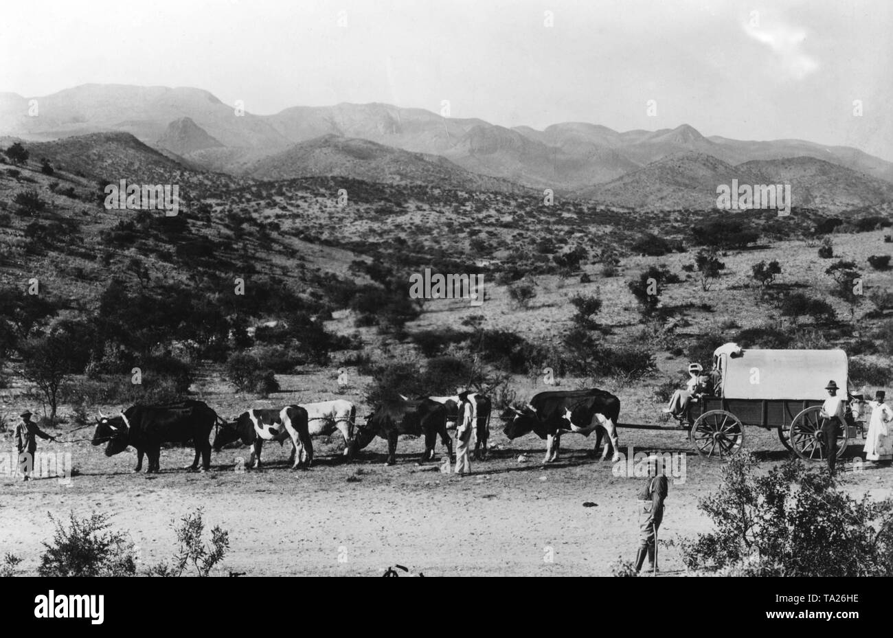Ox train of a German farmer near Kappsfarm (at Windhoek), (undated shot). - Stock Image