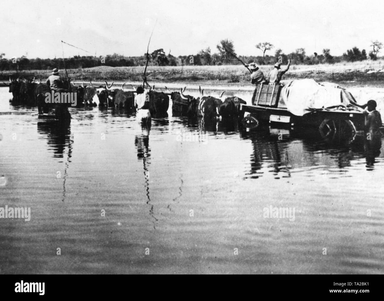 German farmers in the former German colony of German South-West Africa accompany an oxen transport through a river (undated shot). - Stock Image