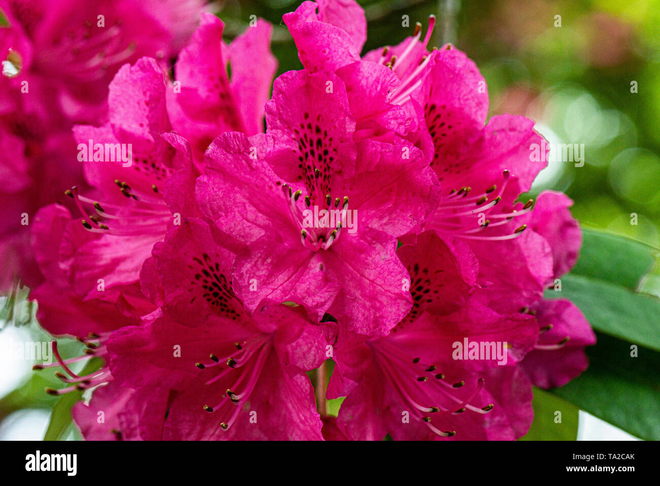 The flowers of a tree-like rhododendron (Rhododendron arboreum) - Stock Image