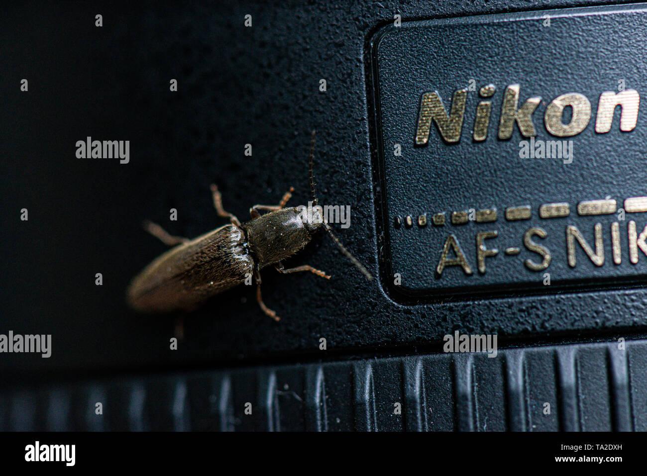 A click beetle on a Nikon camera lens - Stock Image