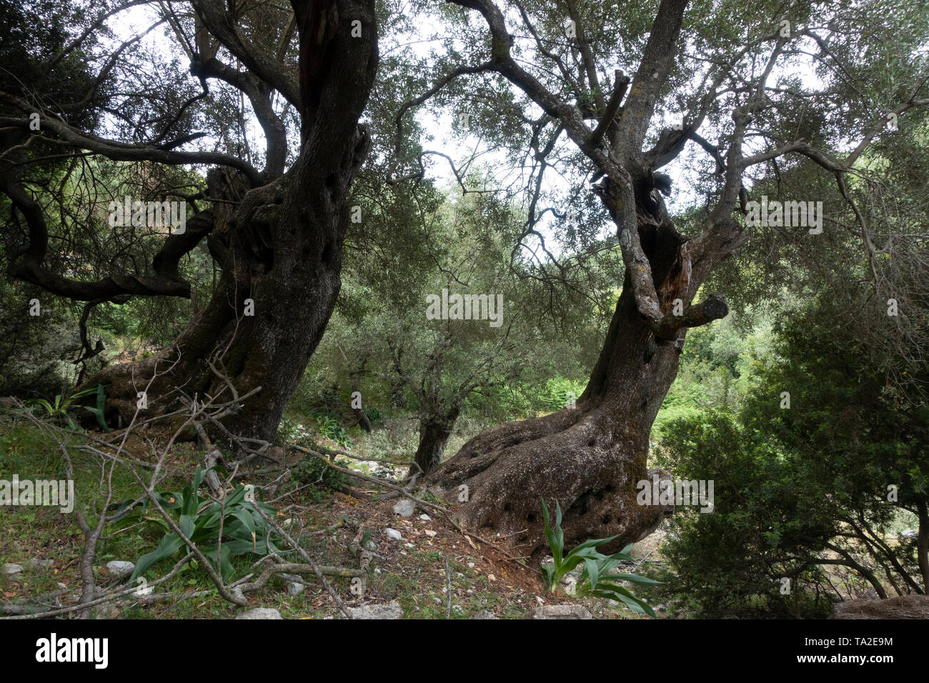 Ancient olive trees in Kioni, Ithaca, Greece. Ithaca, Ithaki or Ithaka is a Greek island located in the Ionian Sea to the west of continental Greece. Ithacas main island has an area of 96 square kilometres. It is the second-smallest of seven main Ionian Islands. - Stock Image