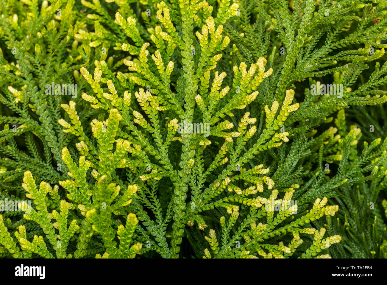 Pale spikemoss / pale spike-moss / moss fern (Selaginella pallescens) native to Mexico, Colombia and Venezuela - Stock Image