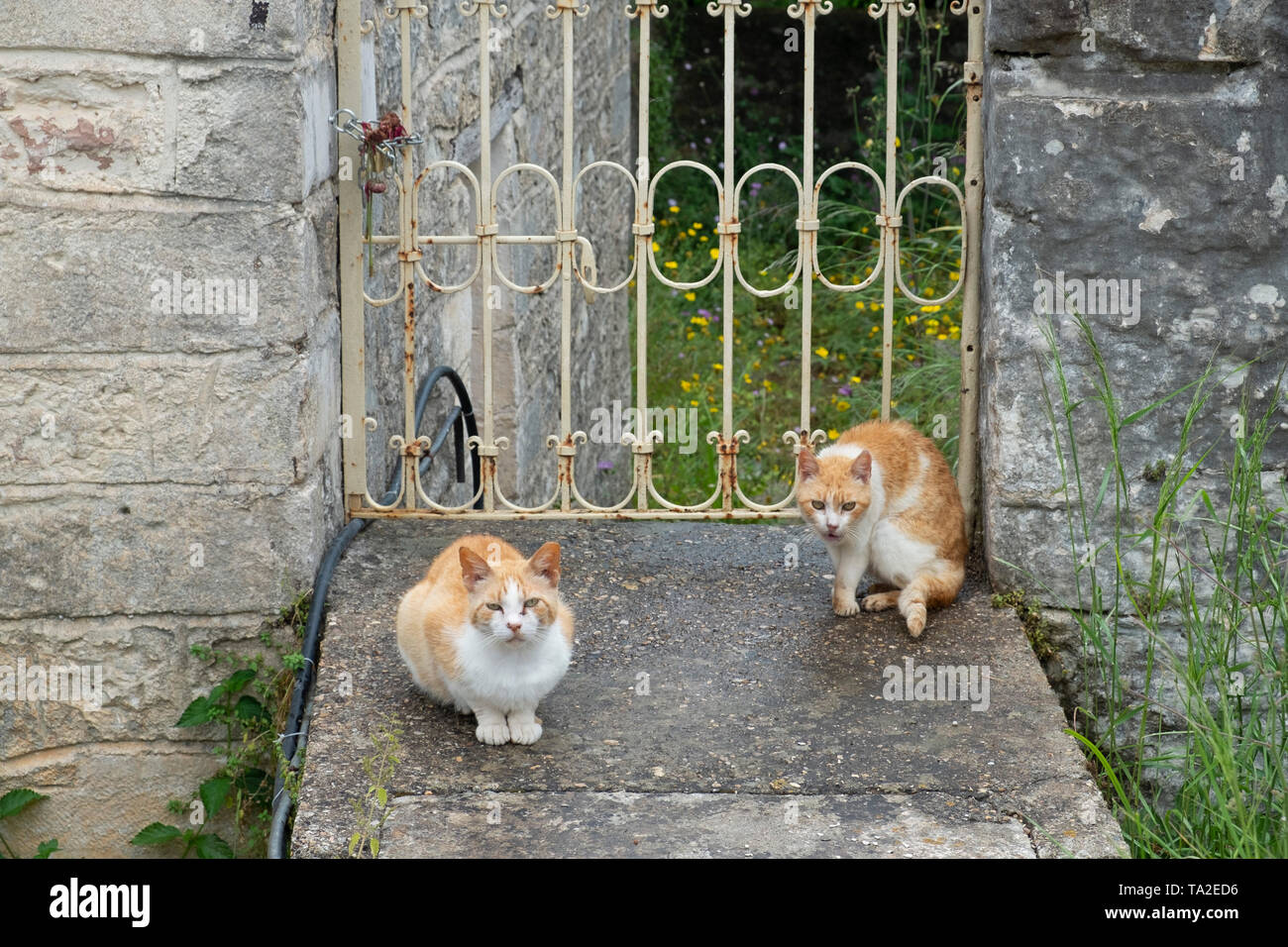 Feral cats in Vathy, Ithaca, Greece. Ithaca, Ithaki or Ithaka is a Greek island located in the Ionian Sea to the west of continental Greece. Ithacas main island has an area of 96 square kilometres. It is the second-smallest of seven main Ionian Islands. Greece and the Greek islands are inundated with stray, abandoned and feral cats. The majority of them are born in the spring and survive through the kindness of people who feed them. - Stock Image
