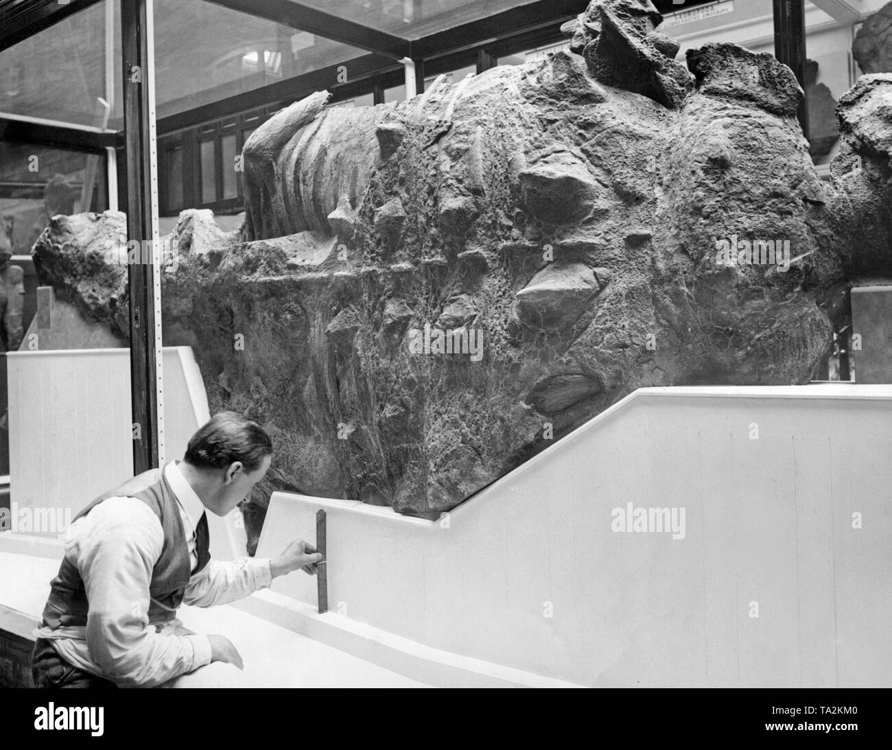 This armored dinosaur at the Natural History Museum in London was considered one of the most valuable of its kind. It comes from the Belly River Formation on the Red River in Alberta, Canada. - Stock Image