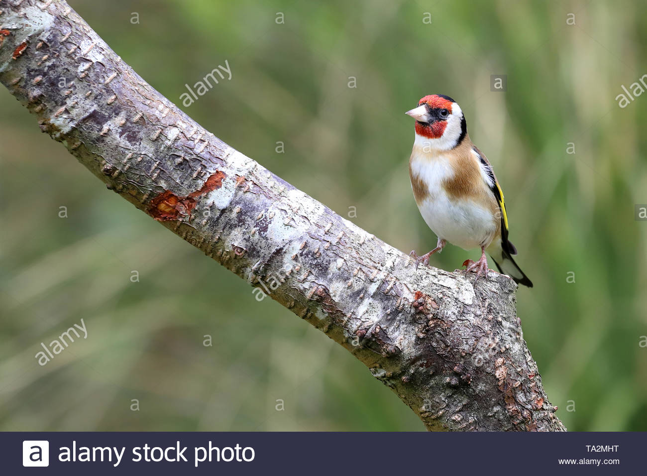 Goldfinch (Carduelis carduelis) on tree branch - Stock Image