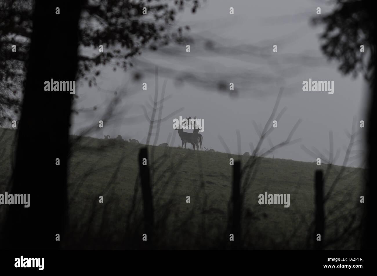 Zwei Hirsche in der Abenddämmerung - Stock Image