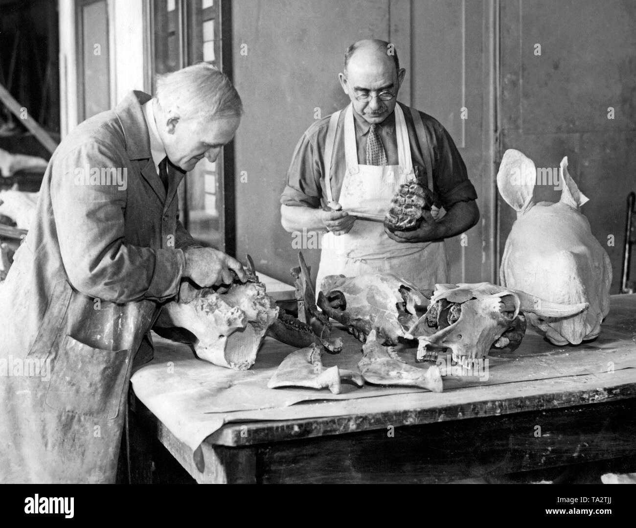 Paleontologists Otto Falkenbarh (left) and George Olson work on fossilized dinosaur bones in the American Museum of Natural History. - Stock Image