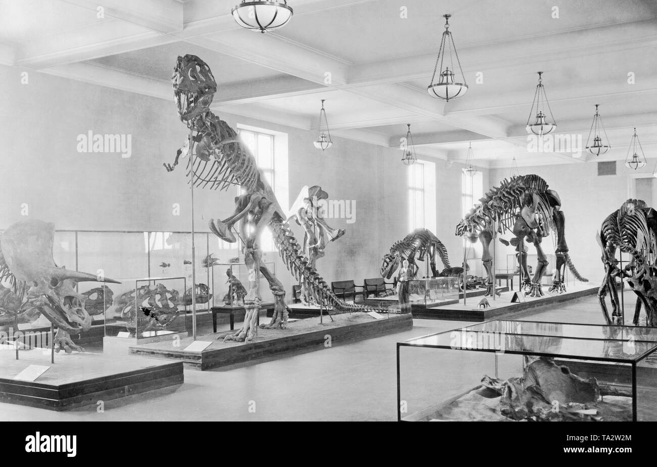 This shot shows the dinosaur room in the New York Museum of Natural History. - Stock Image
