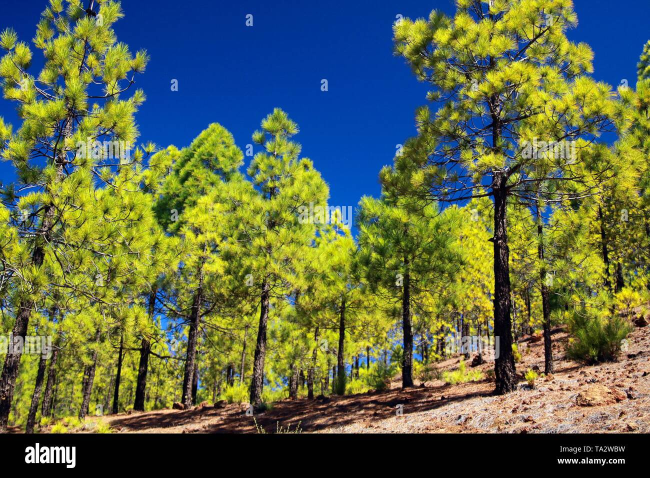 Trekking to Paisaje lunar (moon landscape) from Vilaflor along green canarian pine trees (Pinus canariensis) growing on lava ground contrasting with d - Stock Image
