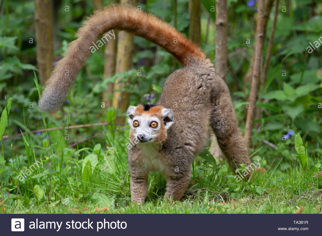 Wide-eyed crowned lemur - Stock Image