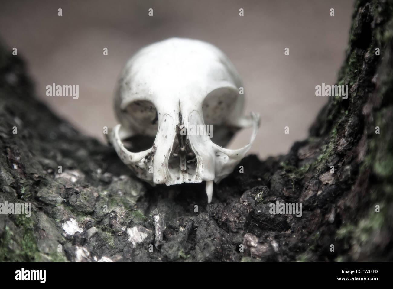 The skull as a symbol of death (memento mori). White animal skull with large eye sockets (orbital cavity) and predatory teeth (fang, tusk, canine toot - Stock Image