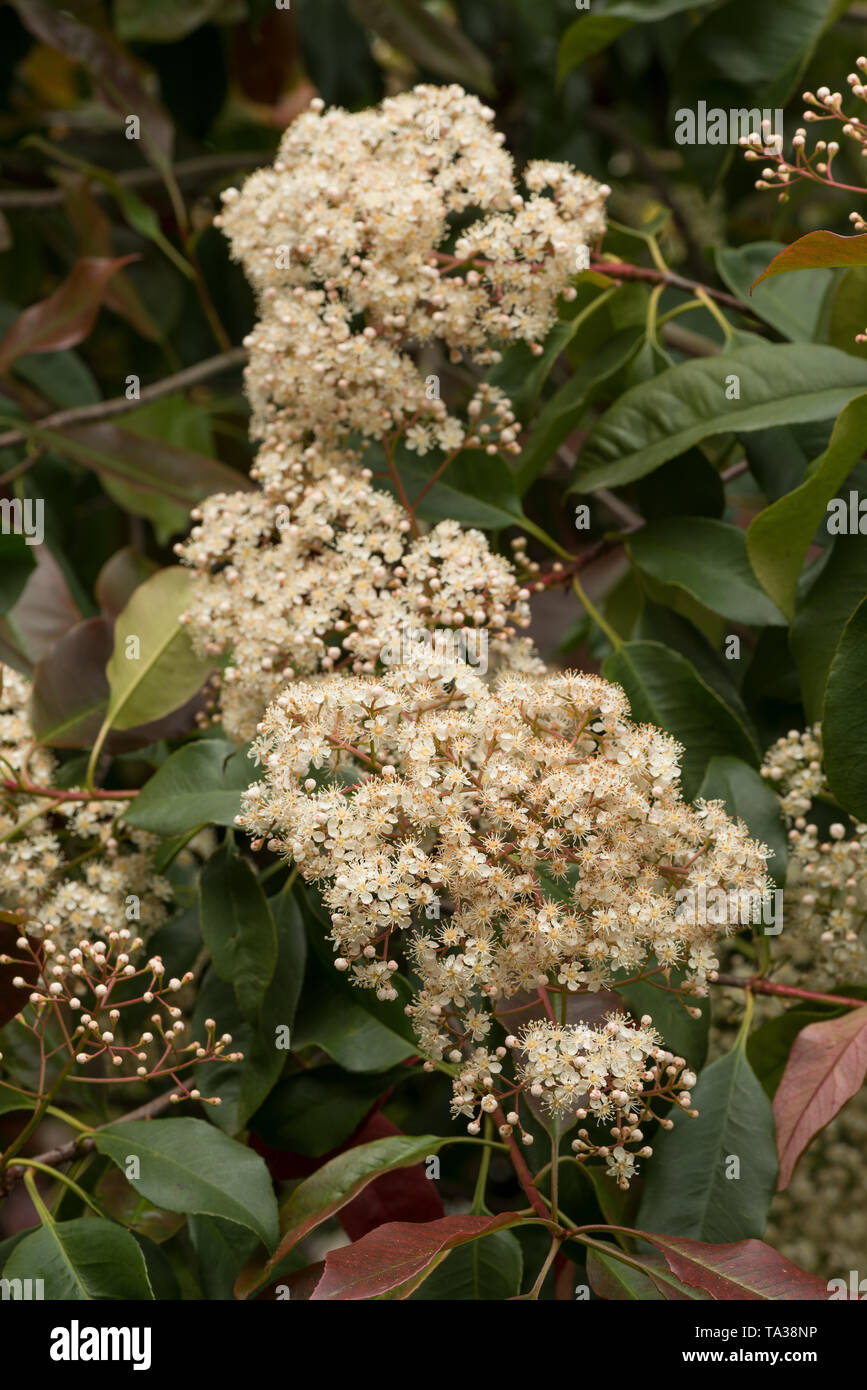Attractive Ivory White Flowers Of Red Robin Photinia Fraseri