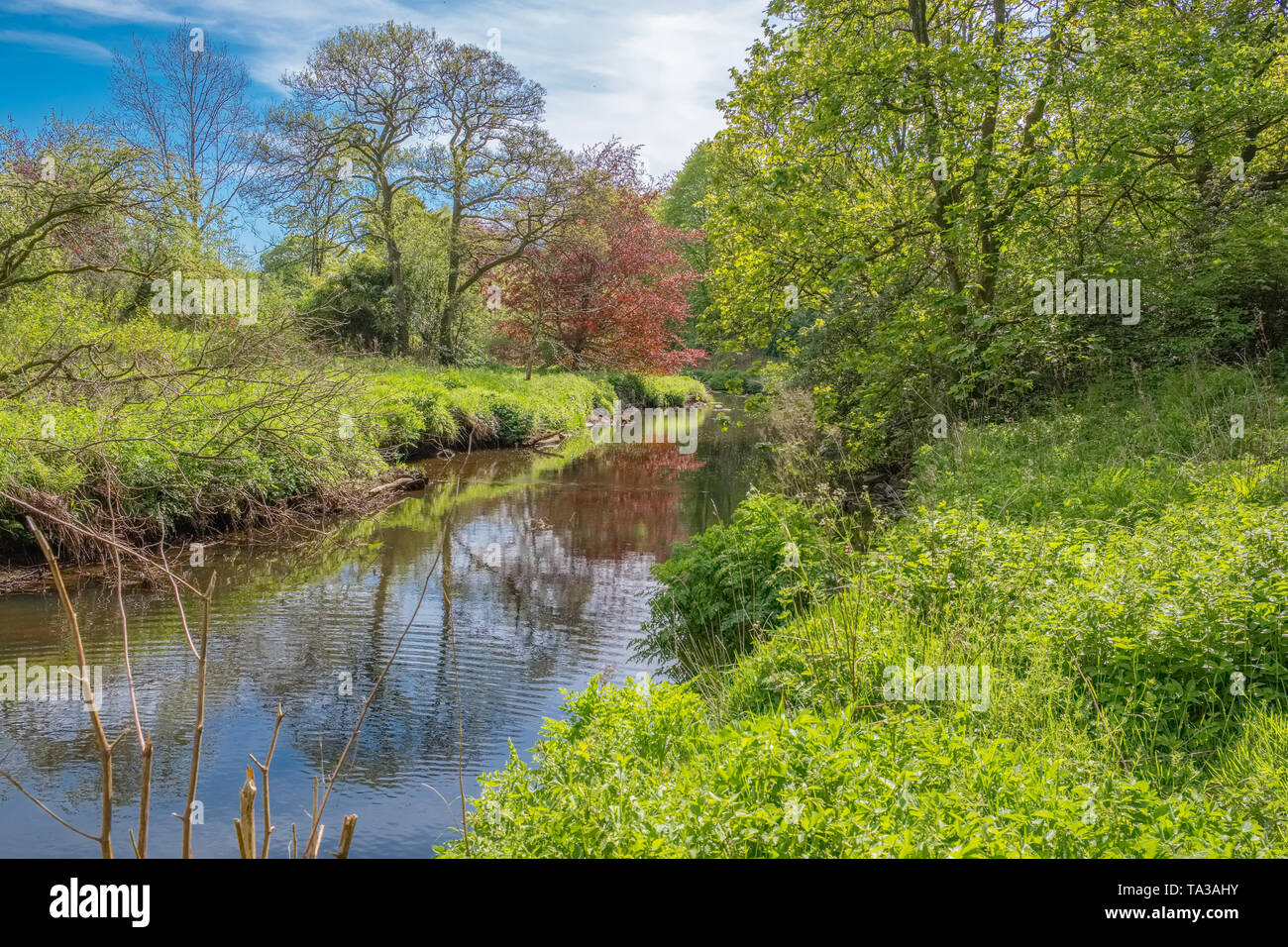 Scottish Country Park at the start of summer as the trees are a lush green colour and a gentle flowing burn or river with reflections in Scotland. - Stock Image