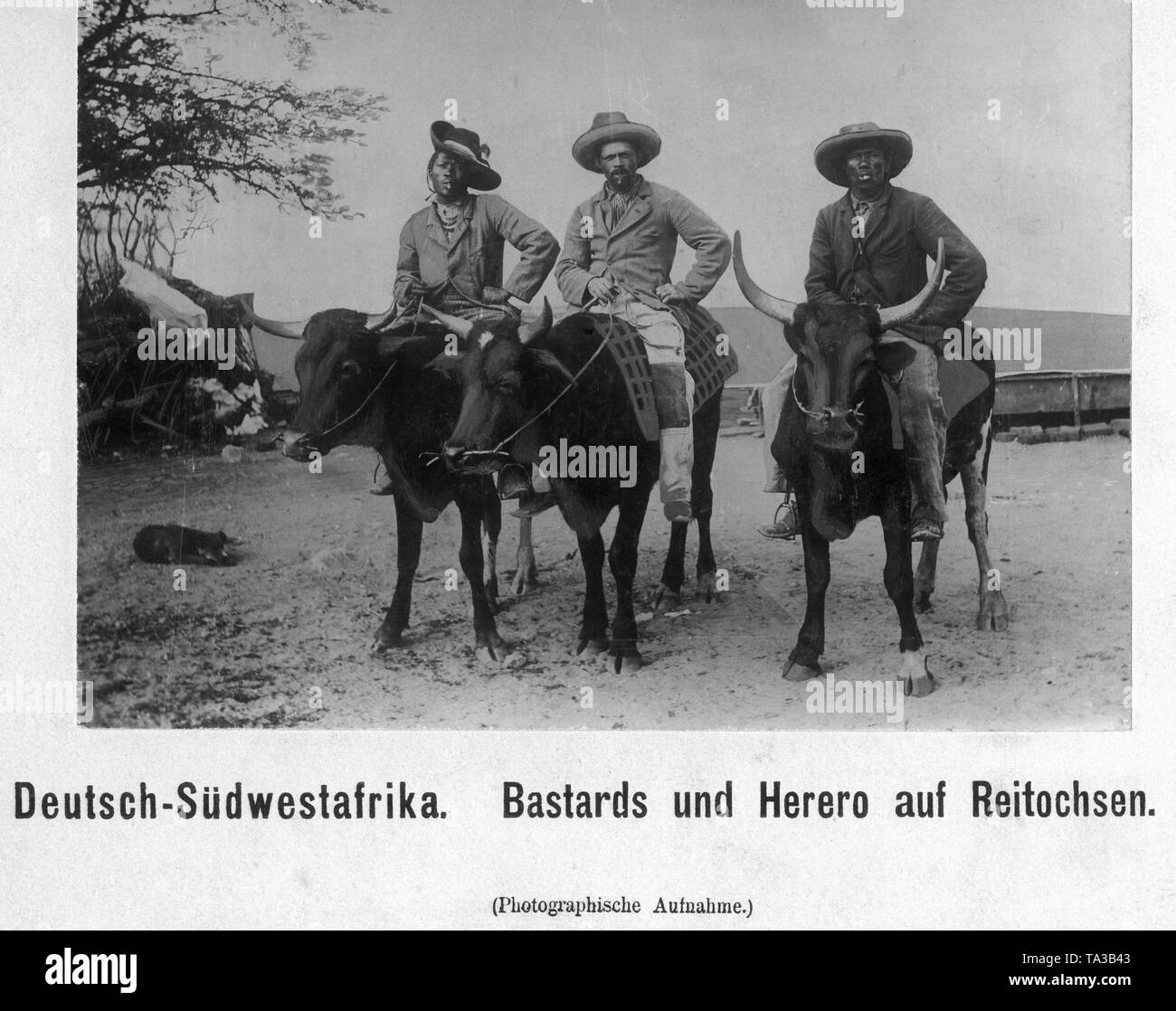 Three Baster and Herero men in European clothes riding oxen. - Stock Image