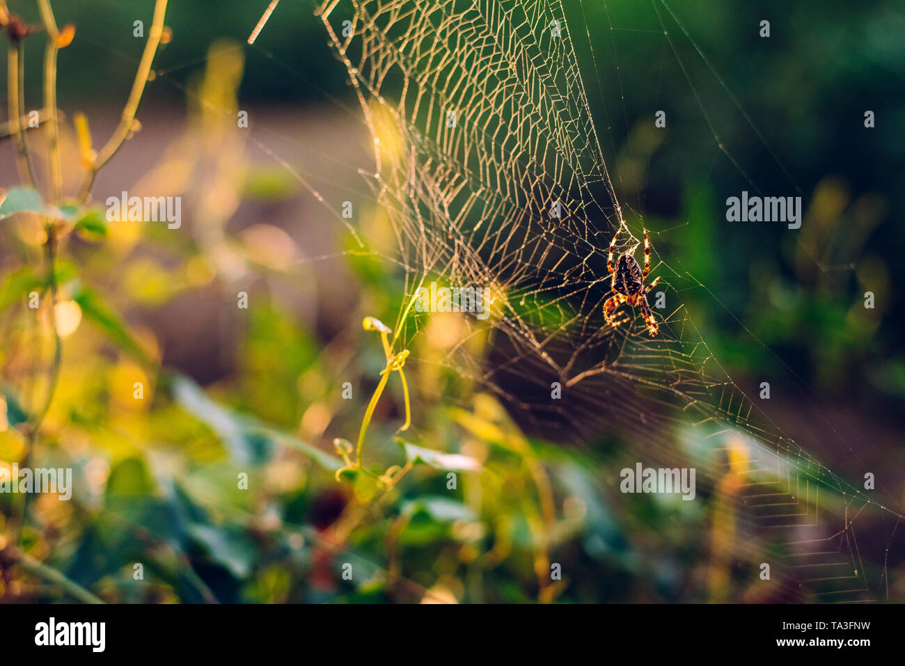 Spider weaving his spider web against a light in a forest. - Stock Image