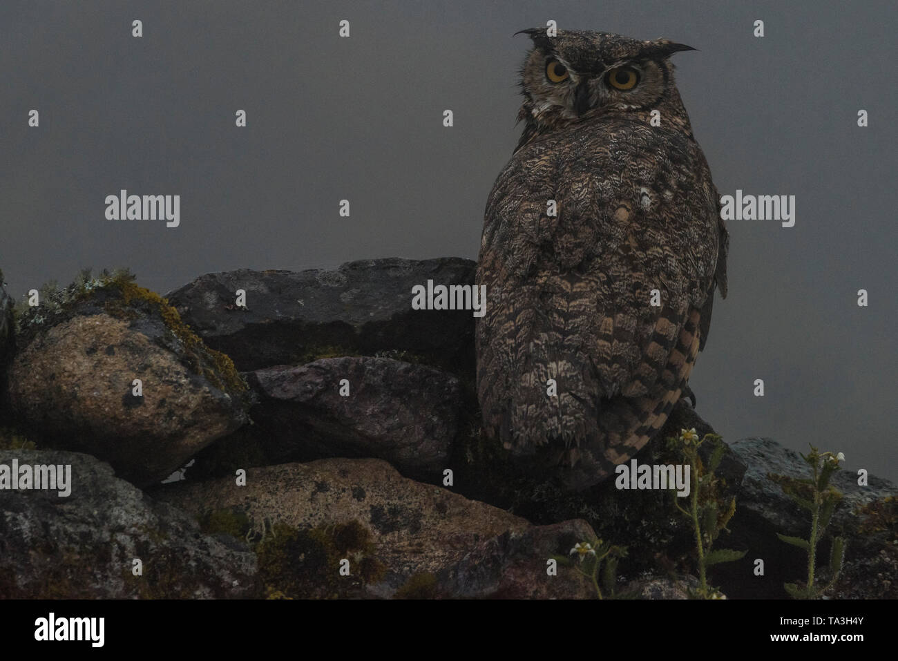 The lesser or Magellanic horned owl (Bubo magellanicus) which is sometimes regarded as a subspecies of great horned owl from the Peruvian Andes. - Stock Image