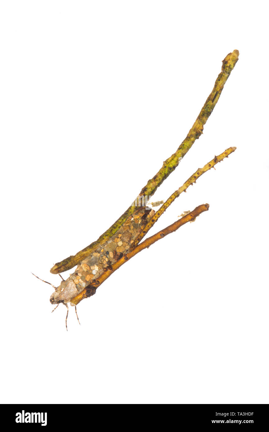 A photograph of a caddis larva, order Trichoptera, on a white background in its protective and camouflaged case. Caddis larva spend their time in fres - Stock Image