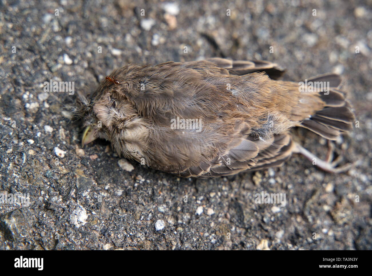 An individual scout ant gets lucky and finds a dead bird ready to be scavenged by an army of worker ants and delivered back to the colony. - Stock Image