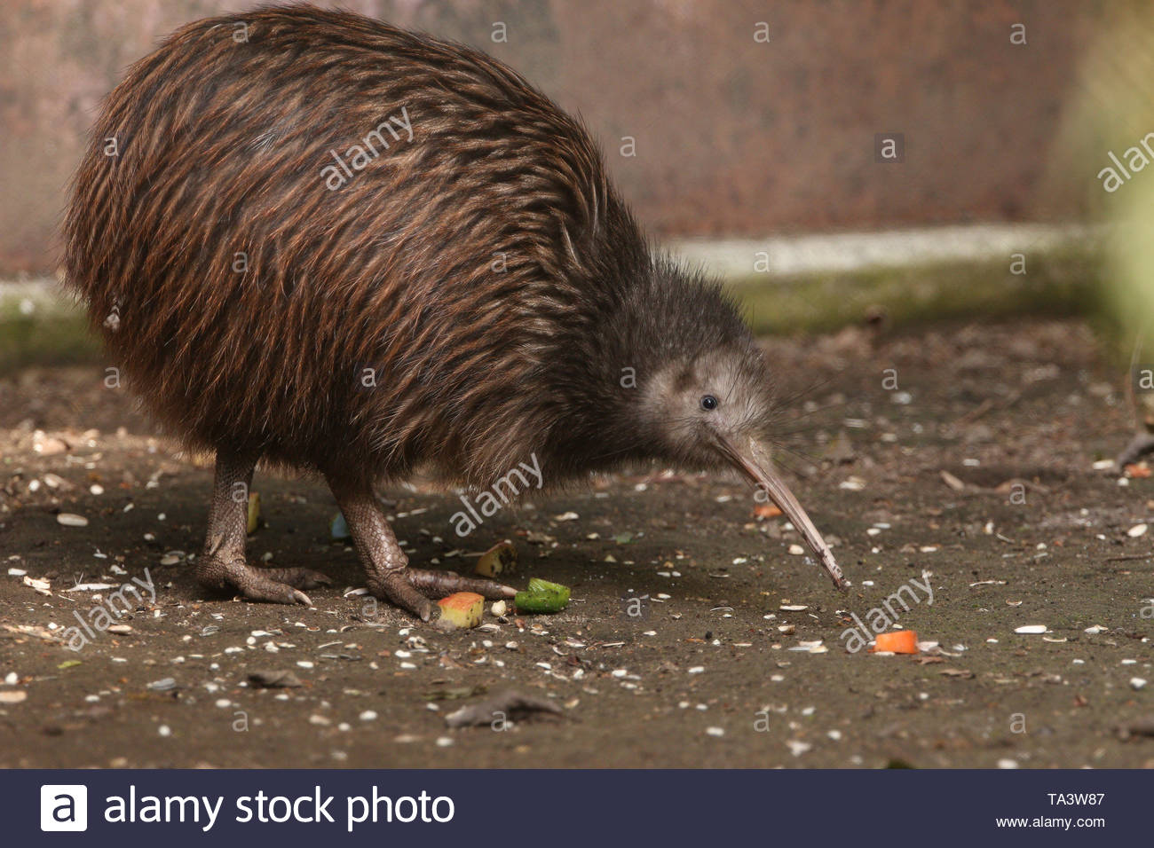 The North Island brown kiwi on a close up horizontal picture. A rare cute little bird endemic to New Zealand. A strange flightless species with long b - Stock Image