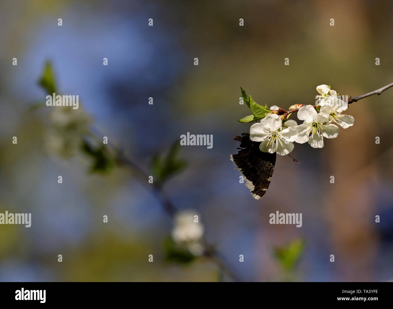 Nymphalis antiopa (Mourning Cloak or Camberwell beauty) on a beautiful  cherry branch in spring - Stock Image